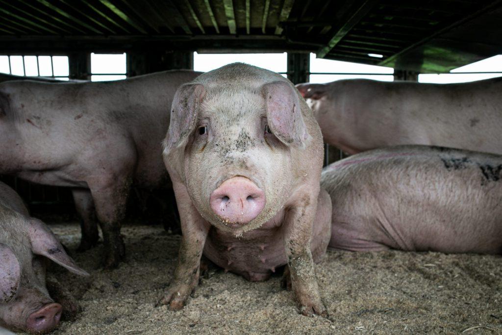 Świnia w transporcie