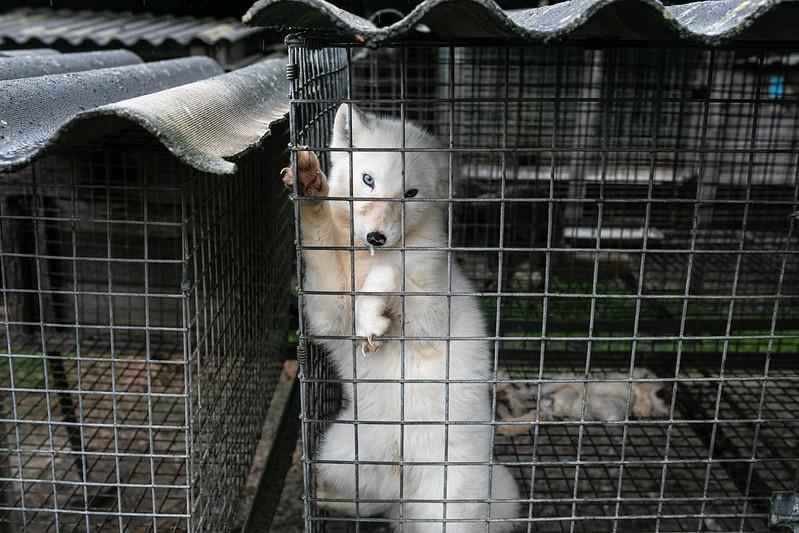 Lis podczas interwencji na fermie futerkowej w Durzynie