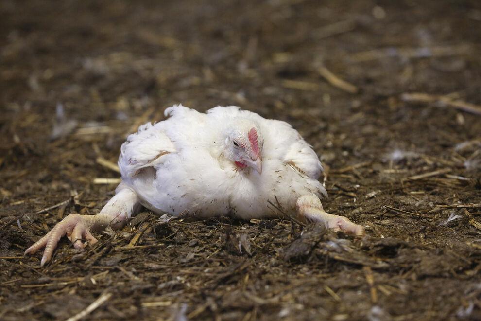 kurczak mięsny