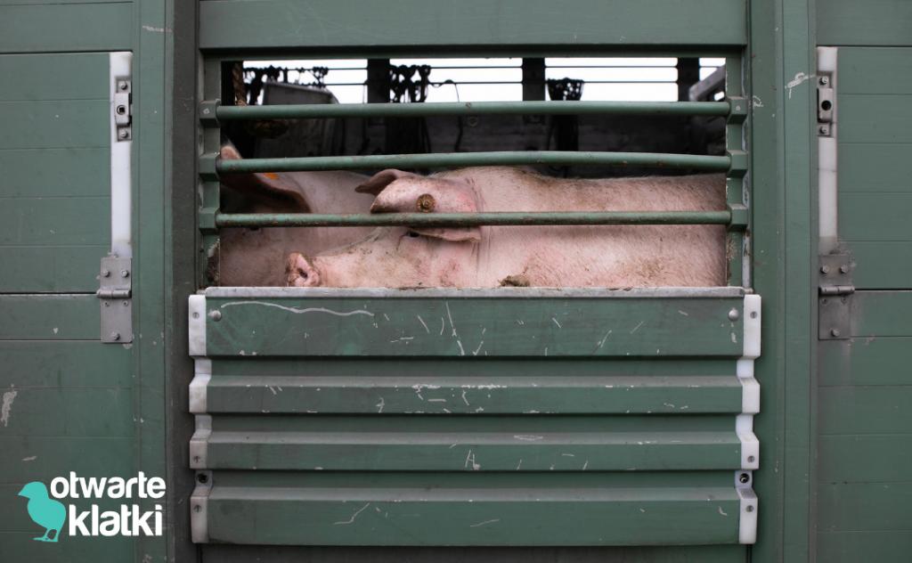 zakaz transportu żywych zwierząt