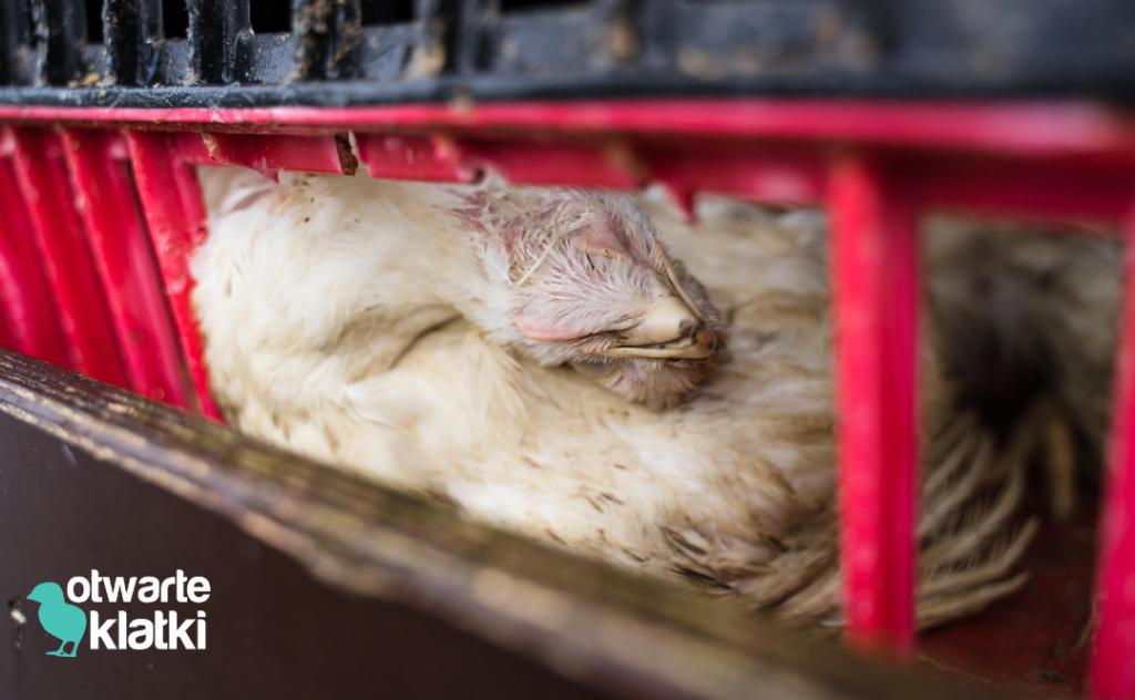kurczak w transporcie
