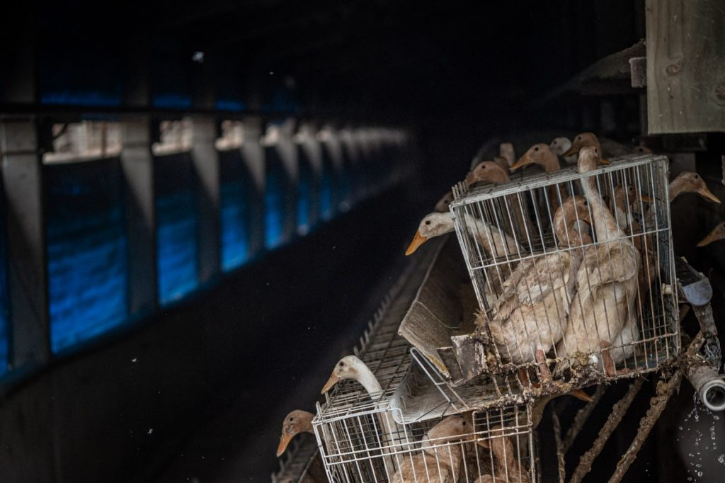 foie gras gęsi