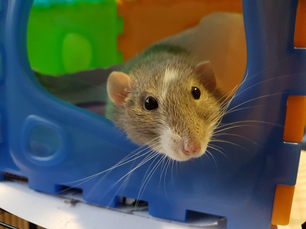 Szczur laboratoryjny
