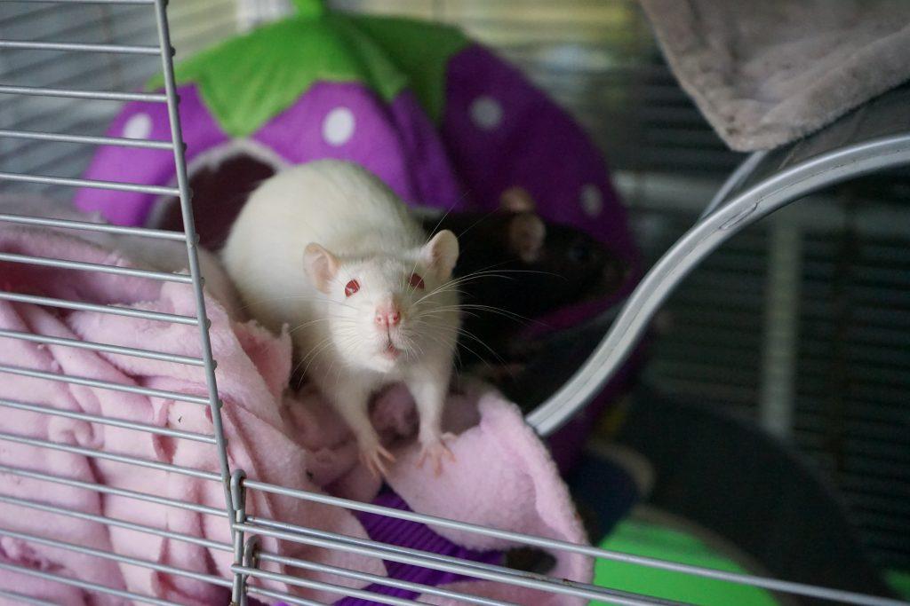 Adopcja zwierząt laboratoryjnych
