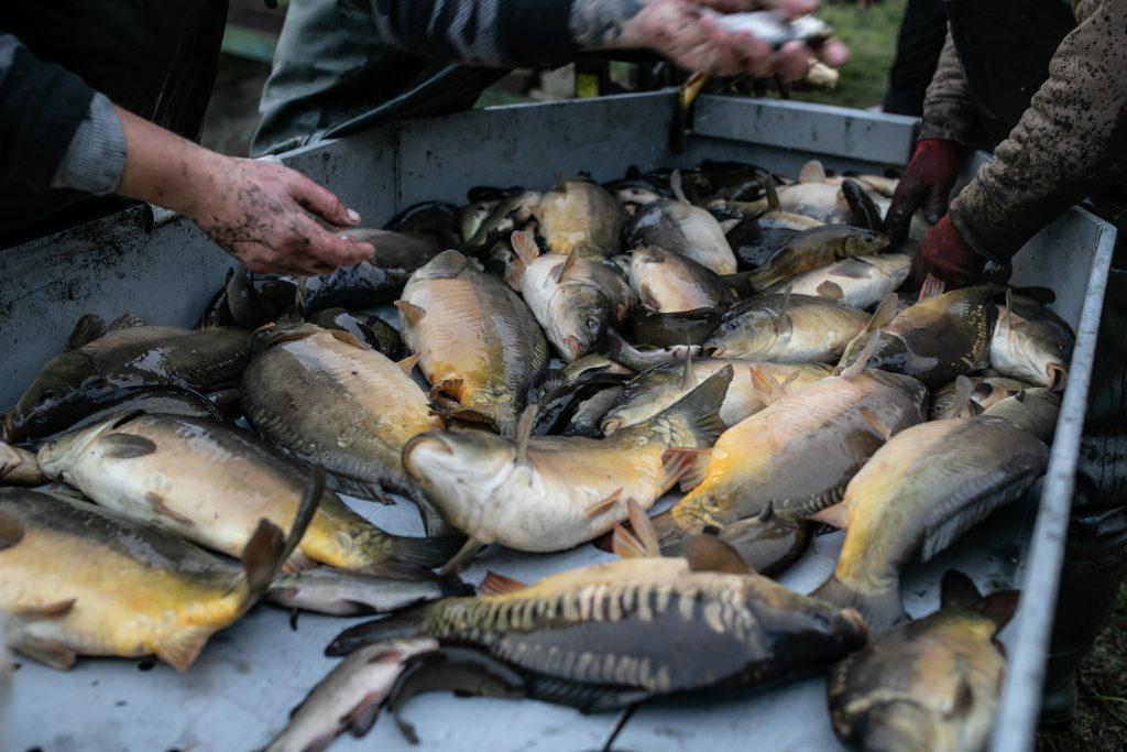 ryby hodowlane