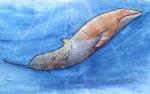 minke whale2