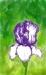 Iris by rmr34
