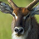 Safaris - Waterbucks