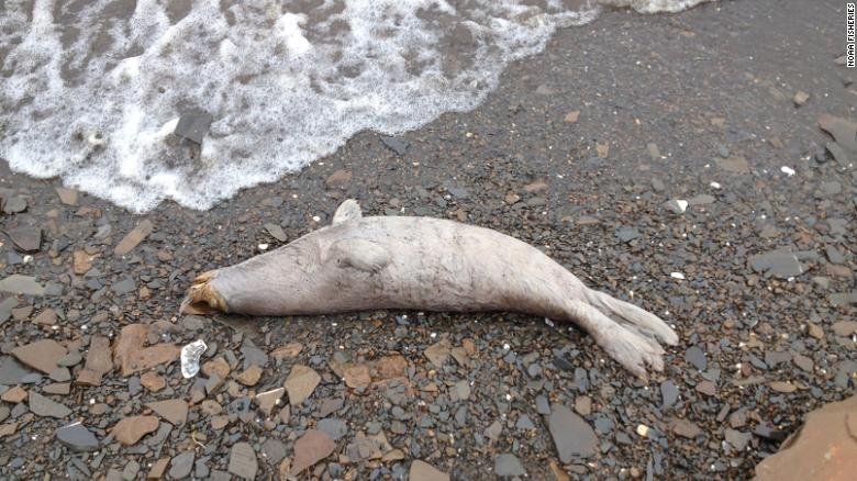 Dozens of dead seals washed up on the coast of Alaska