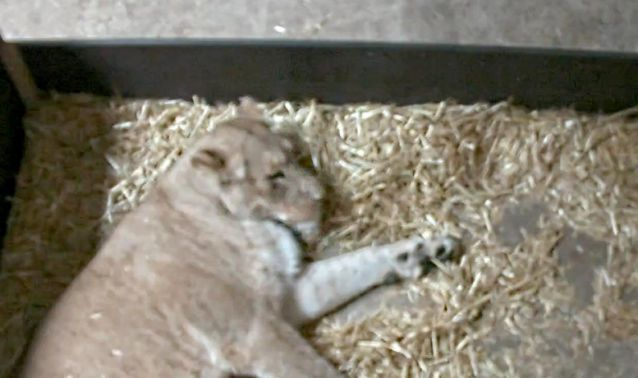 Lioness At German Zoo Eats Her 2 Newborn Cubs