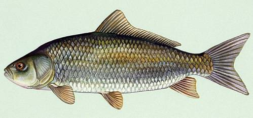 BIGMOUTH BUFFALO: THIS RECORD-BREAKING FISH WAS ALIVE WHEN THEODORE ROOSEVELT WAS PRESIDENT