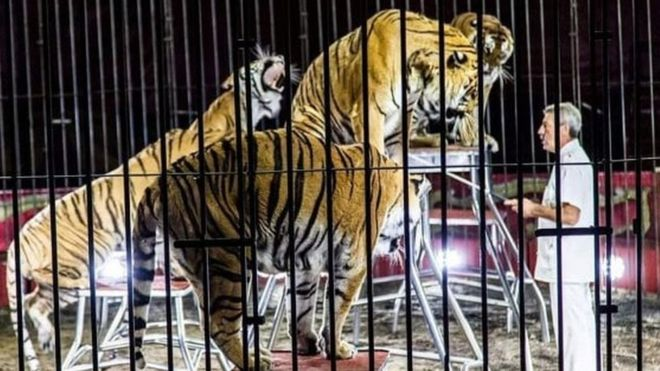 Orfei Circus tigers maul trainer to death in southern Italy
