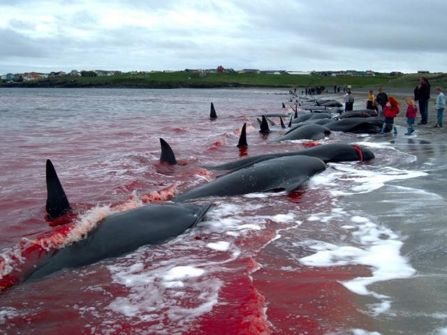 Annual Faroe Islands Whale Hunt Leaves Hundreds of Whales Dead and the Waters Blood Red