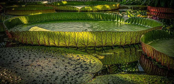Large Water Lily