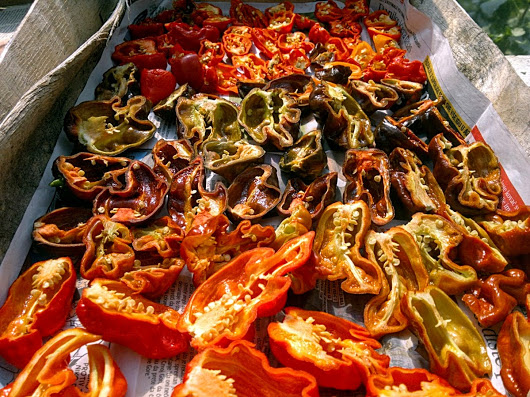 Hot peppers drying
