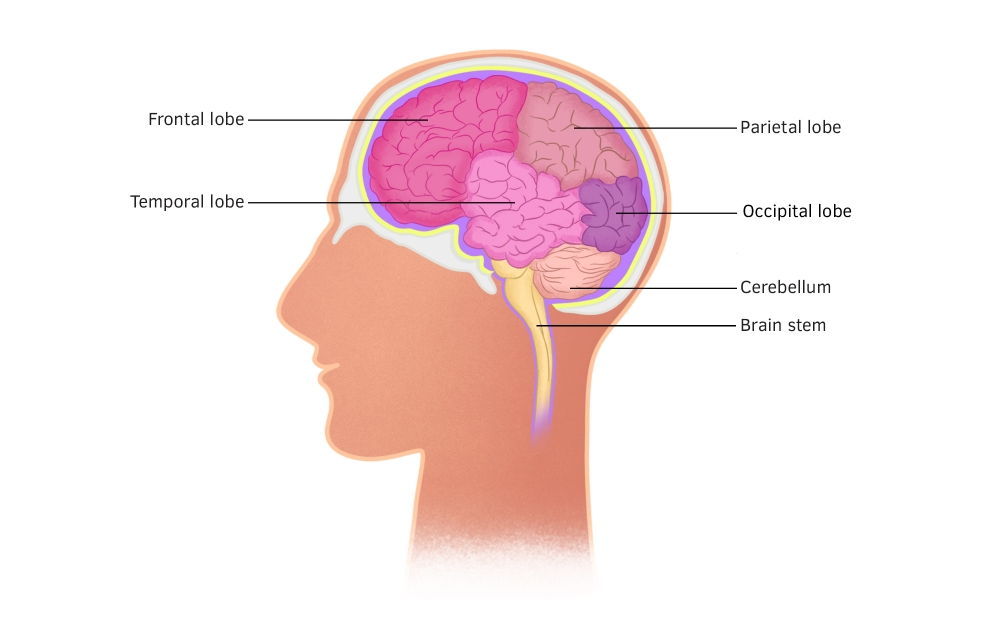 The human brain, parts of the brain.