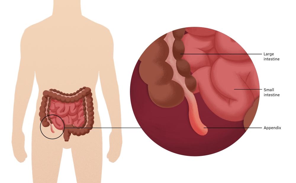 location of the appendix