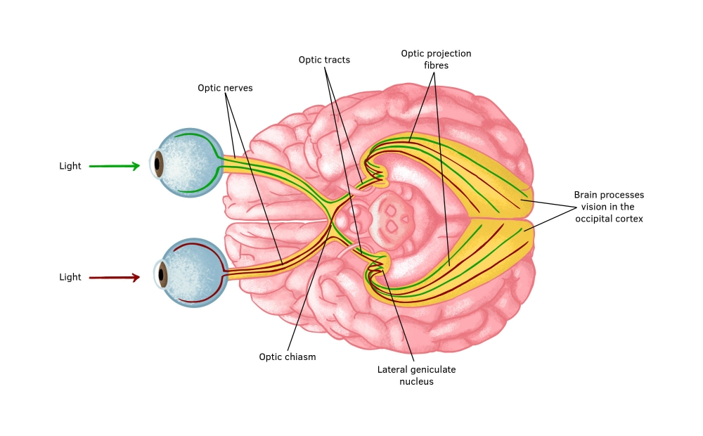 The visual pathways of the brain showing the anatomy of parts of the brain that process vision.