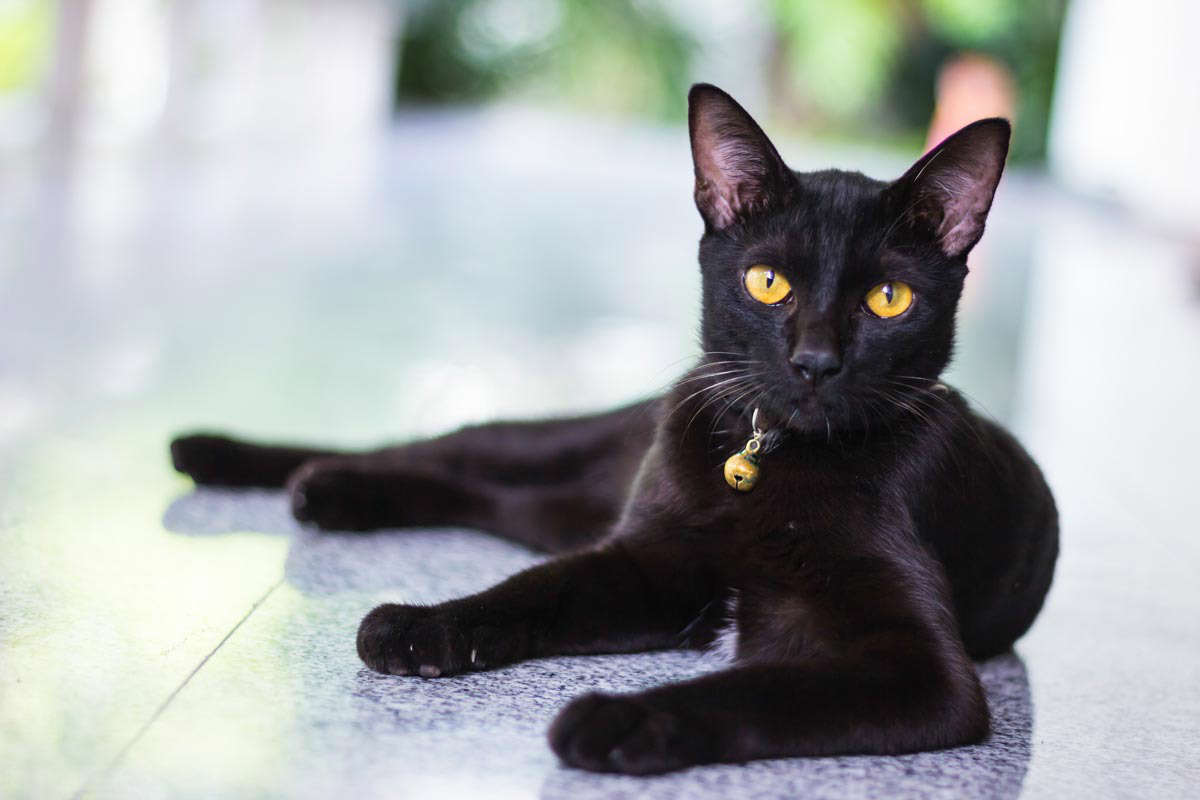Bombay Cats Have A Very Beautiful Jet Black Coat Which Make Them Seems Mysterious Although The Gene Of Black Coat Is Dominant Sometimes You May Find A