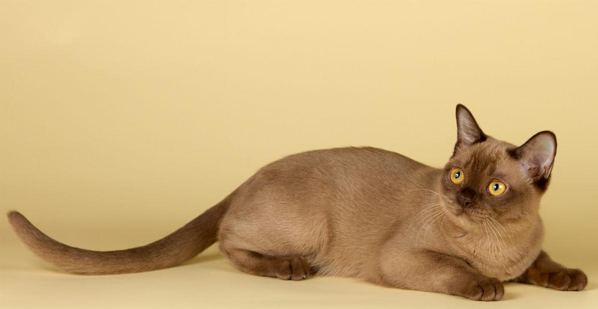 burmese cat2