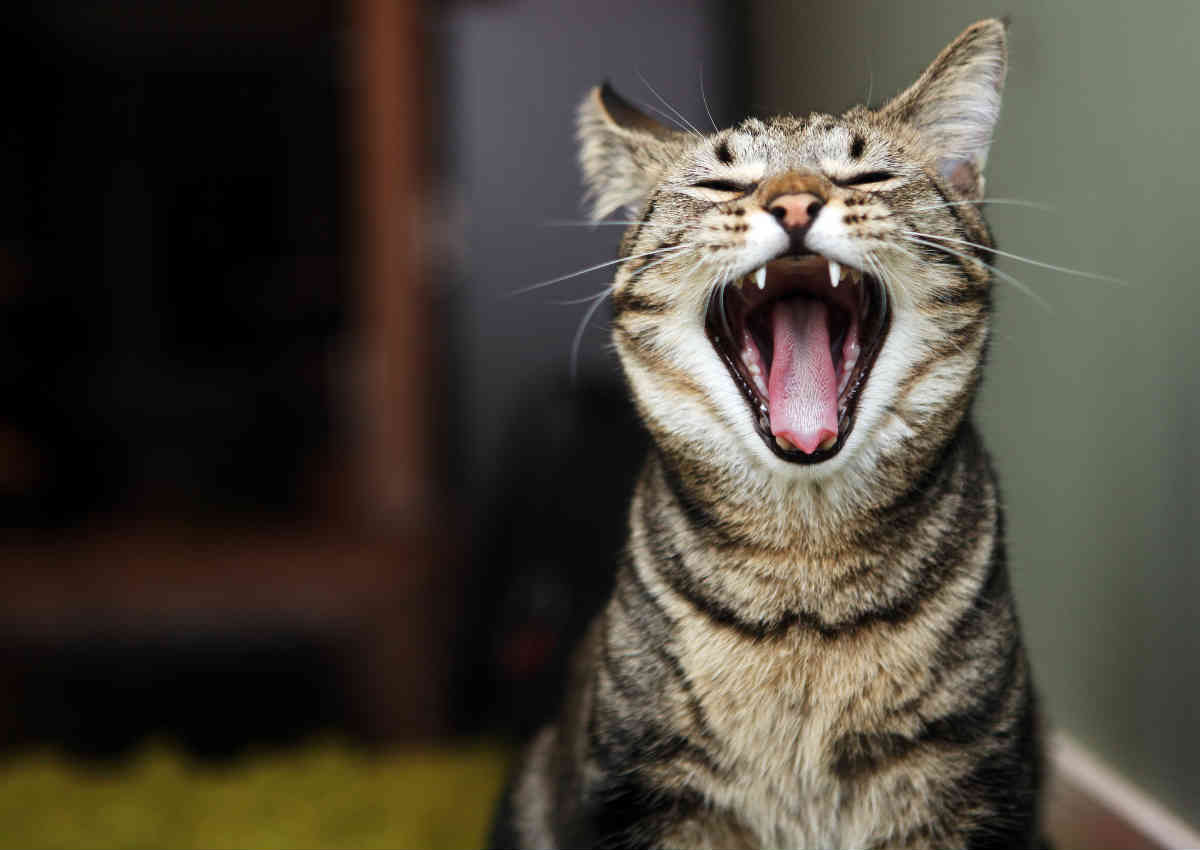 cat open mouth