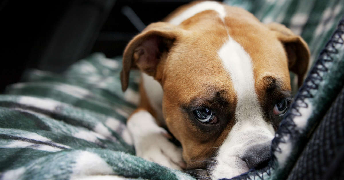 Can Dogs Get Depressed Symptoms