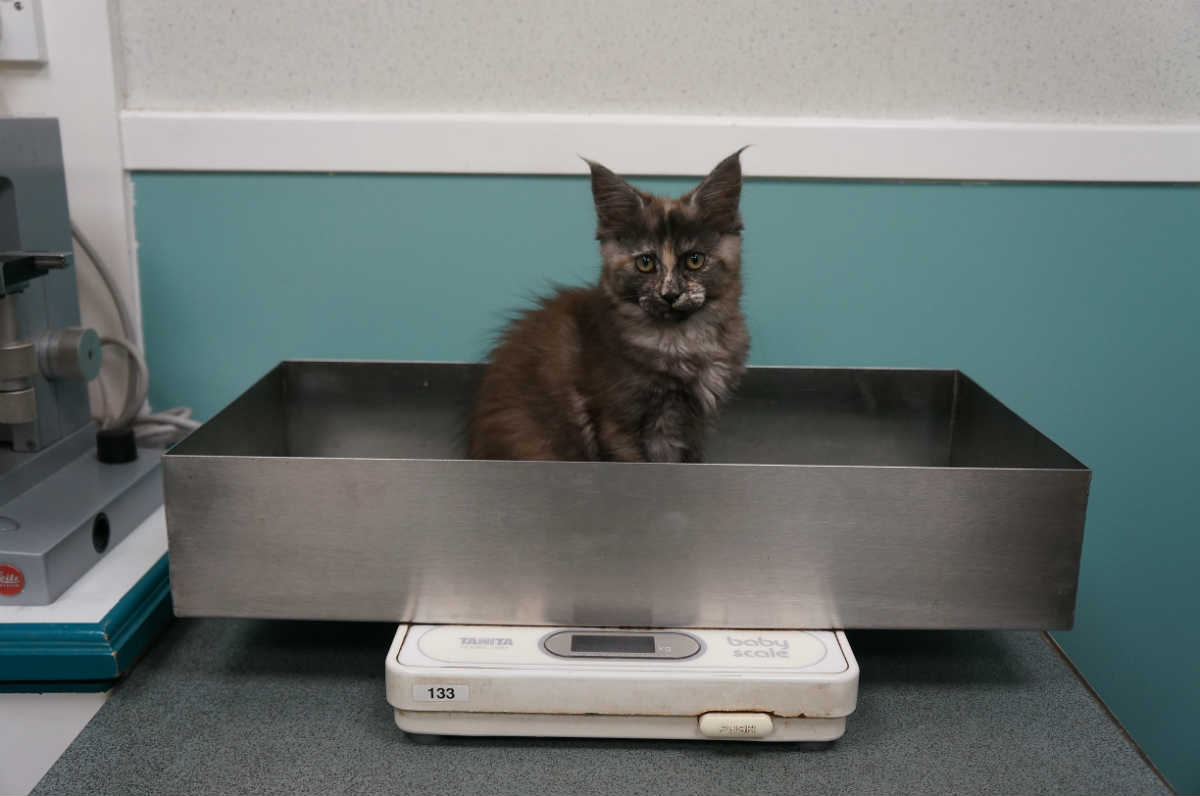 kitten on scales