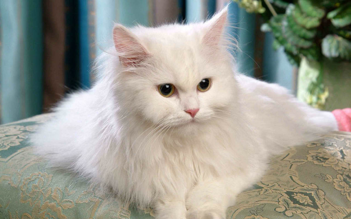 Top 10 Cat Breeds That Live The Longest