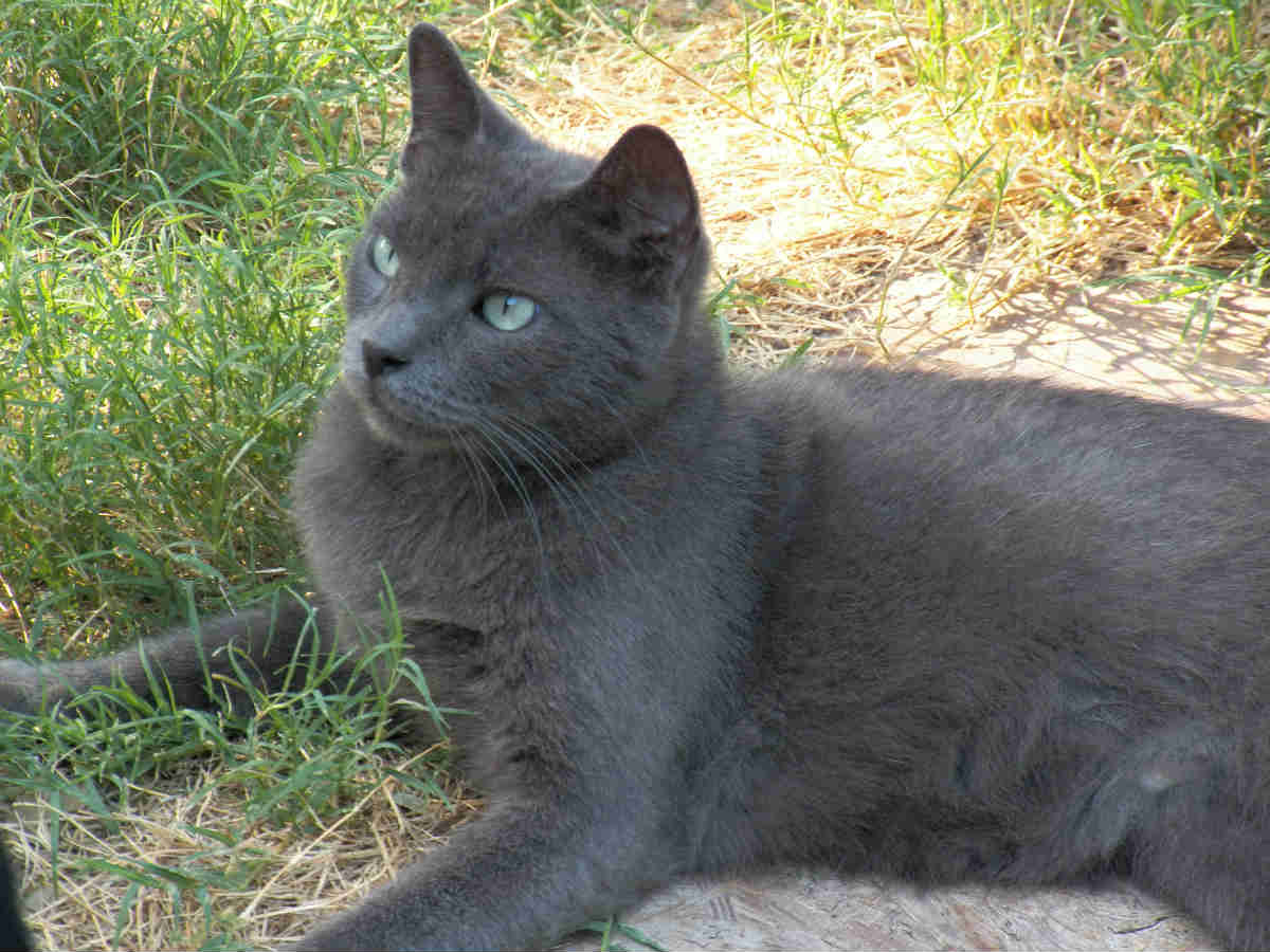 russian blue cat2