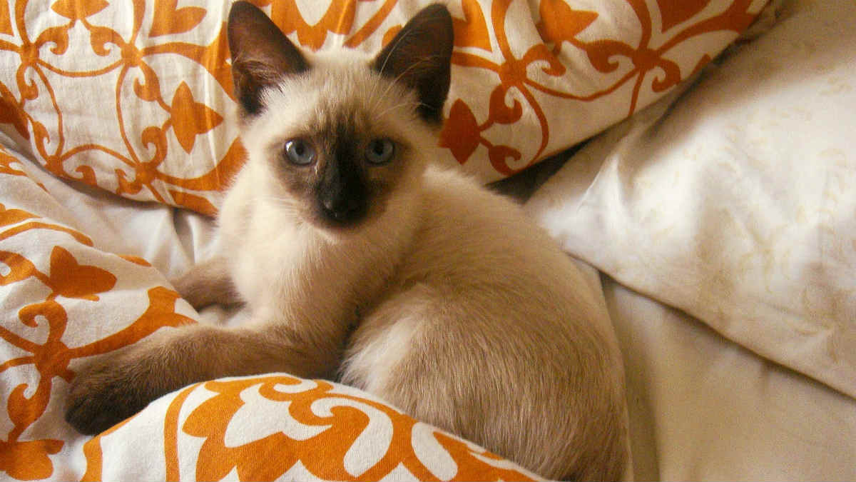 siamese cat2
