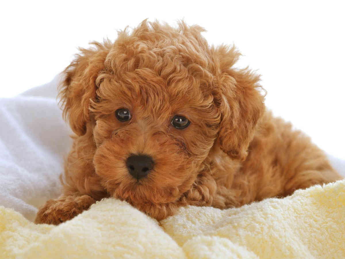 toy poodle2