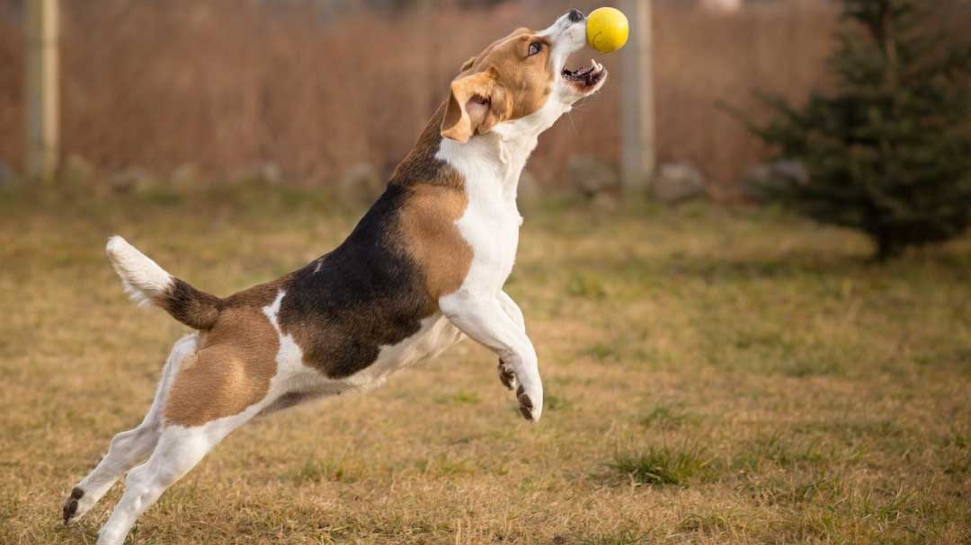 beagle fetch