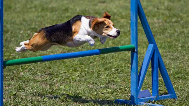 beagle training dog