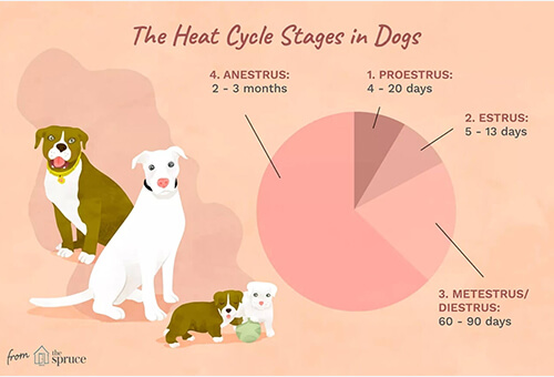 4 stage of dog heat cycle