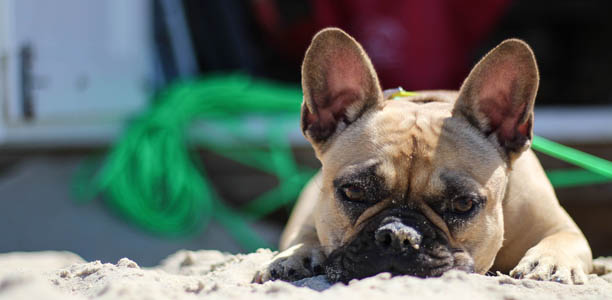 Breed Of The Month French Bulldog | Pet Circle