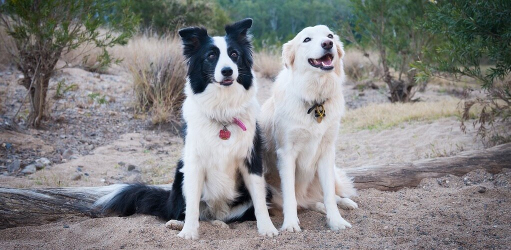 Breed Guide Border Collie Pet Circle