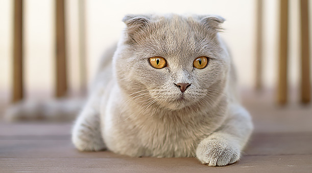 Breed Of The Month Scottish Fold | Pet Circle