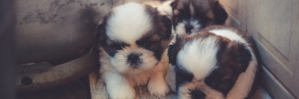 small breed puppies