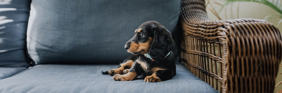 dacshund puppy on couch