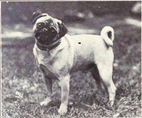 old image of a pug in the early 1900s