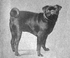 photo of a pug in the early 1900s