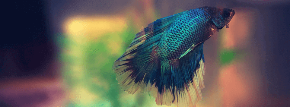 Siamese Fighting Fish Facts | Pet Circle