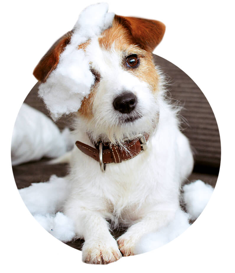 portrait image of a jack russell puppy