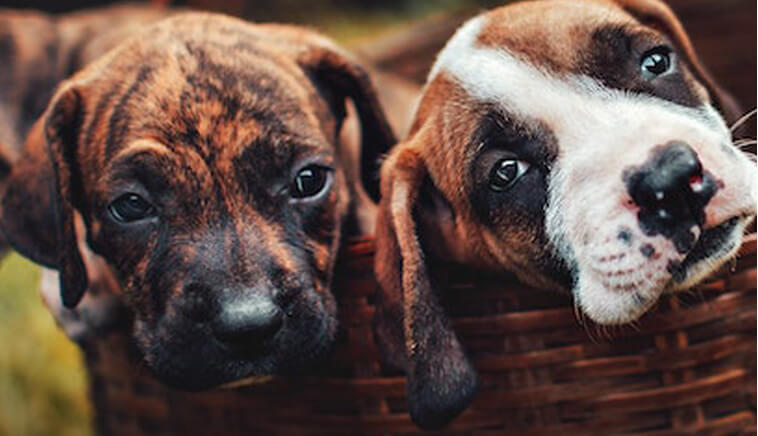 photo of two puppies in a basket