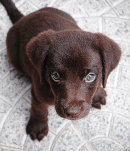 Small Brown Puppy