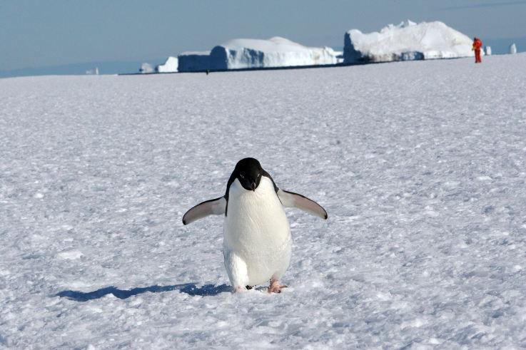 Pingüín