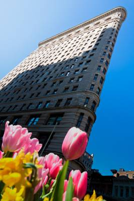 Flat iron and tulips