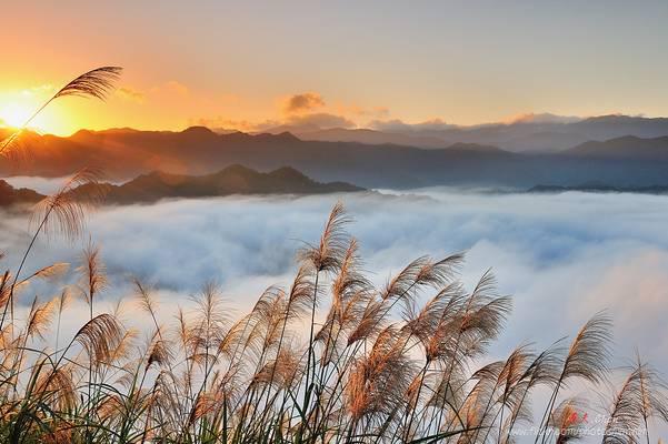 芒草花 Japanese silvergrass