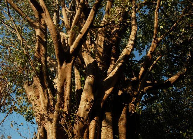 Great banyan trunk, East Garo Hills, Meghalaya