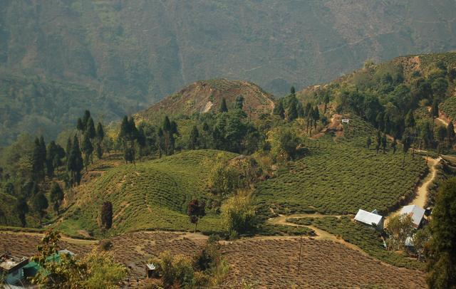 Tea plantation in Darjeeling